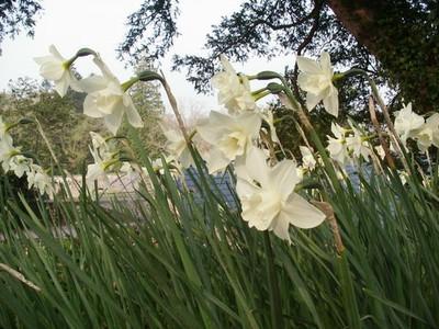 1124797-Narcissus--Pueblo-0.jpg
