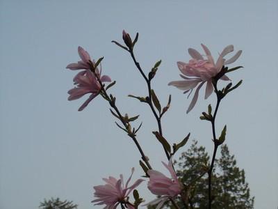 1124802-Magnolia-stellata--Jane-Platt-0.jpg