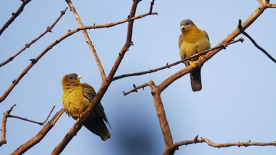 Keoladeo_Yellow-footedGreenPigeons.JPG
