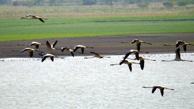 Ranthambore_Flamingos.jpg