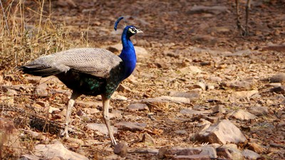 Ranthambore_Peacock.JPG