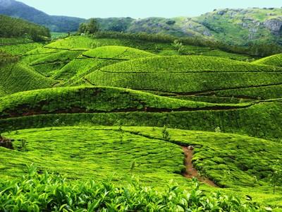 TeaPlantation_Munnar.jpg