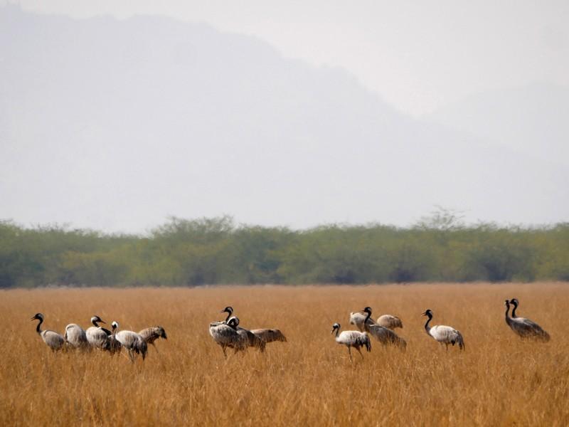Common Cranes at Tal Chhapar