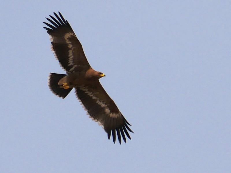 Steppe Eagle in flight at Tal Chhapar