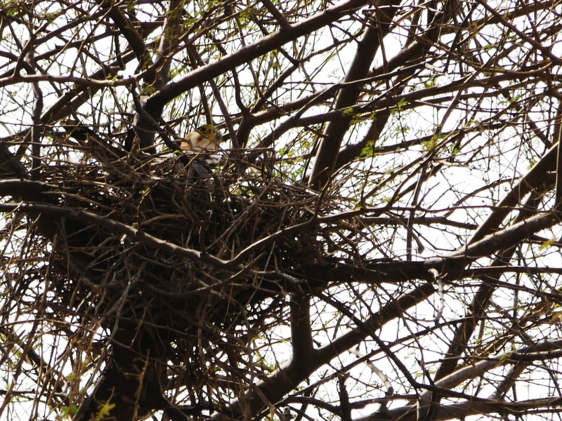 A Red Falcon on a nest at Tal Chhapar