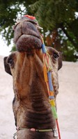 A superior camel