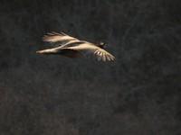 Jhalana Forest, Jaipur_Peahen in flight