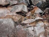 Jaipur_Jhalana_The sub-adult leopard relaxes