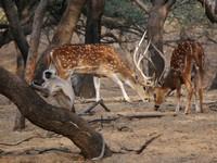 Jaipur_Jhalana_Chital (Spotted Deer) and Langur