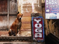 Varanasi_One ear up, one ear down_In the backstreets