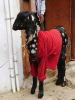 Varanasi_A goat with a coat