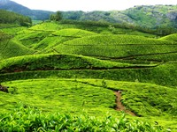 Tea plantations near Munnar - my shortlisted photo