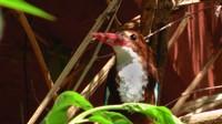 White-throated Kingfisher, Maharani Bagh Orchard Retreat, Ranakpur