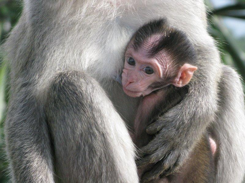 Baby monkey at Bukittinggi panarama