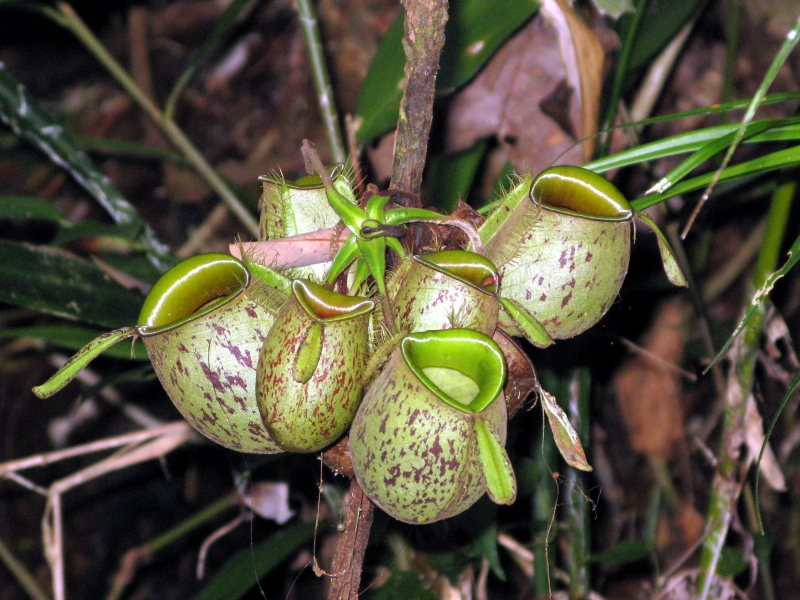 Plant at Camp Leakey forest