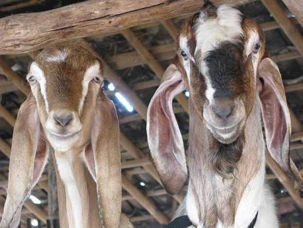 Curious goats at Gunungkidul village