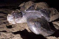 leatherback2.jpg