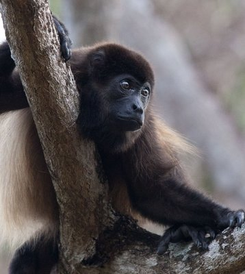 HOWLER MONKEY AT ECOVENAO