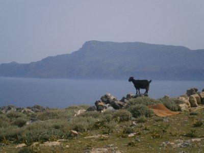 Goats roaming the hillside