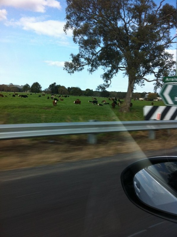 Cows near Nowra