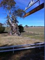 The Herbig Tree