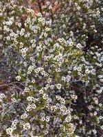 Desert flowers, Watarrka National Park