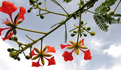 Flamboyand Flowers