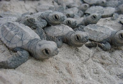 Turtle Babys walking to the Ocean