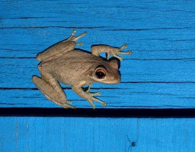 Frog on blue door