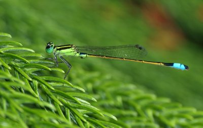little green Dragon fly