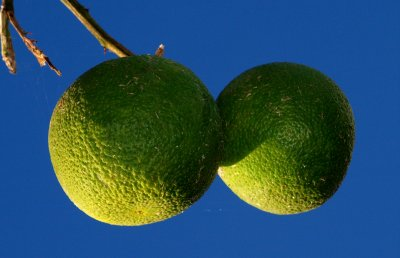 Green Oranges,blue sky