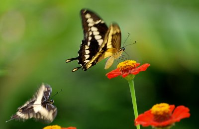 2 Butterflys