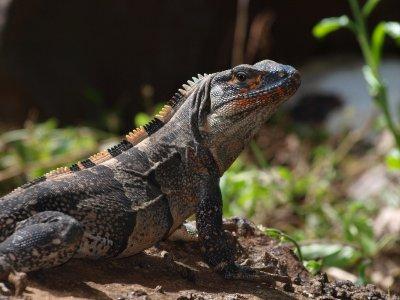 Nicaragua Iguana