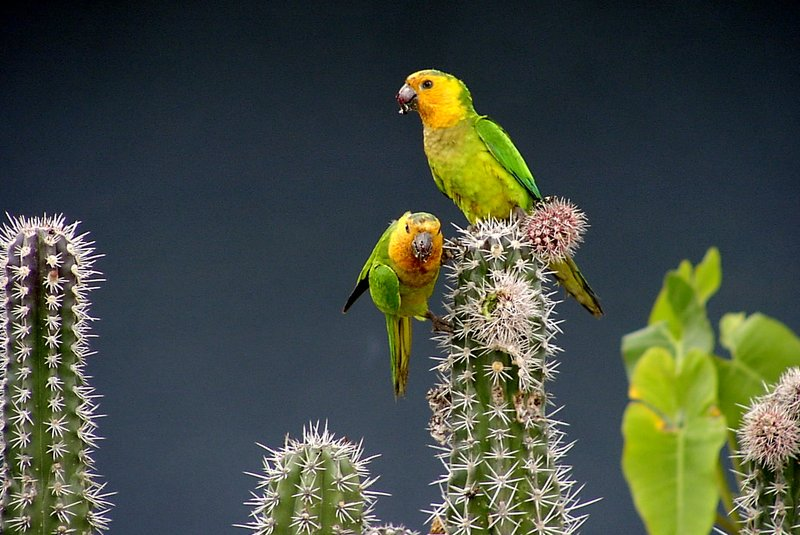 Cactus for two