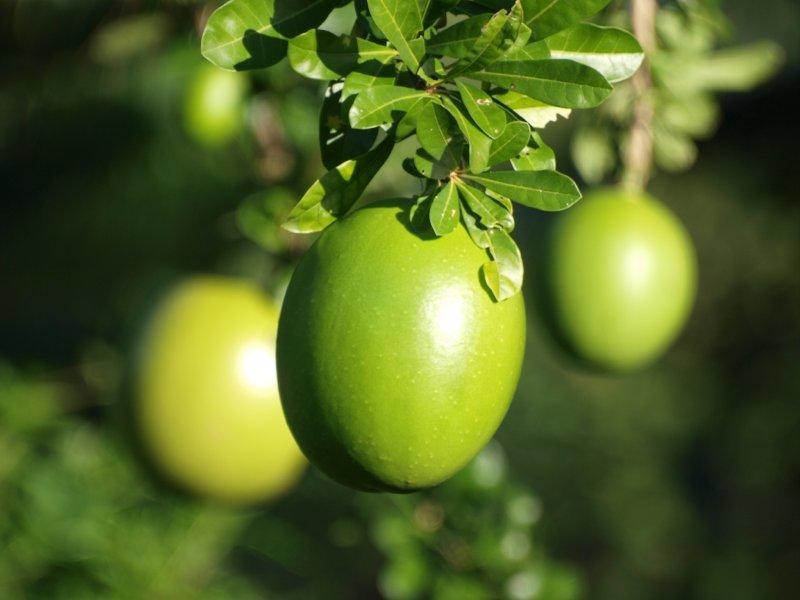 Calabas fruits