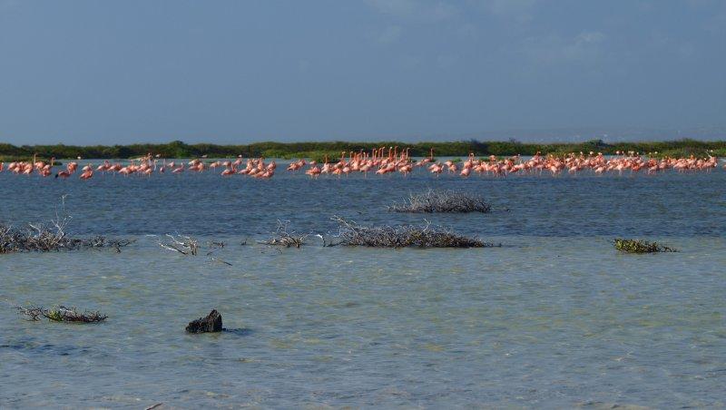 big flamingo group at the salinas