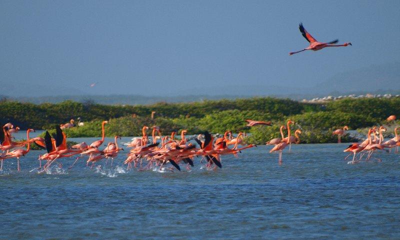 Flamingos take off
