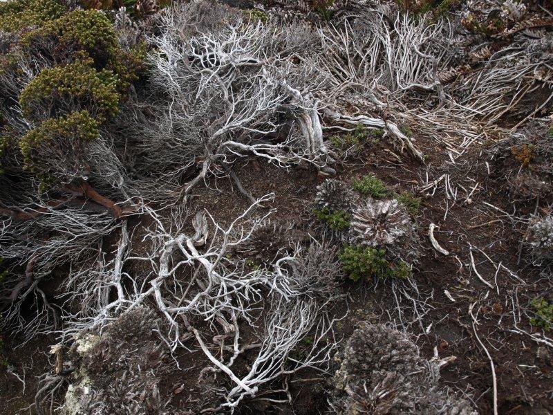 Falkland bushes
