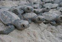 Turtle Babys walking to the Ocean