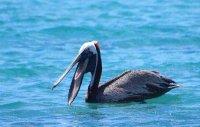 pelican smile