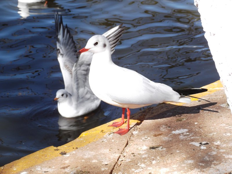 Red Beaked Seagull