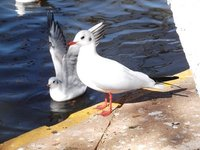 Red Beaked Seagull