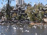 Flock of Red Beaked Seagulls