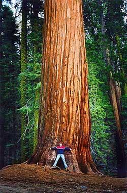 Sequoia Tree, Sequoia National Park, California