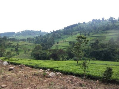 Tea Plantation in Nandi County