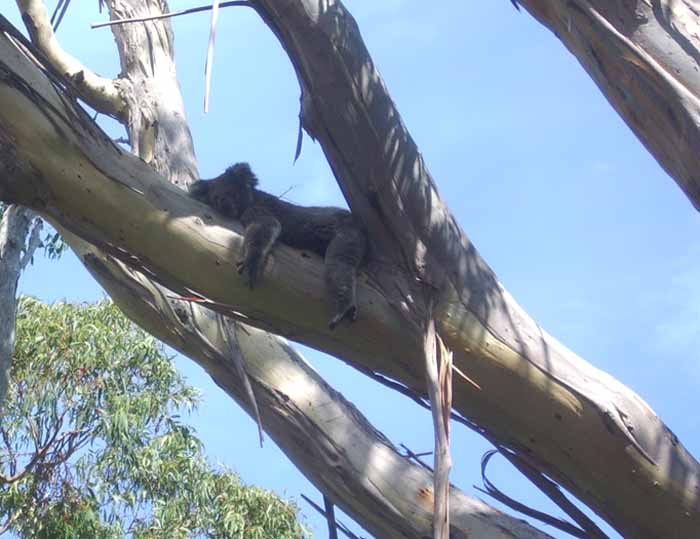 First koala we saw in the wild