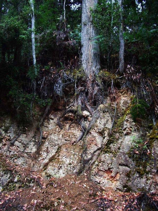 Tree roots penetrating rocK