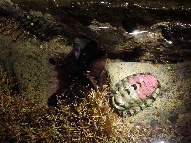 Trilobyte type creature