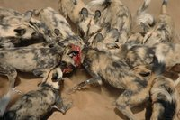 African Wild Dogs, Namibia