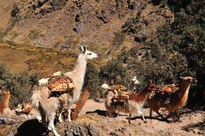 Llama carrying firewood